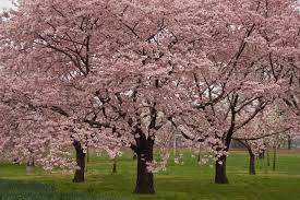When Do Mulberry Trees Bear Fruit  Home Decorating Interior When Do Cherry Trees Bear Fruit