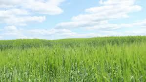 tall green grass field. Boy Running Among The High Grass In Field, Runs To Clouds On Tall Green Field O