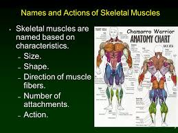1 Chapter 11 Muscular System 2 Outline Types And Functions