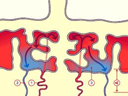 Placental Blood Circulation