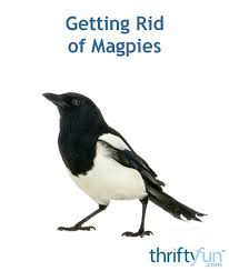 getting rid of magpies thriftyfun