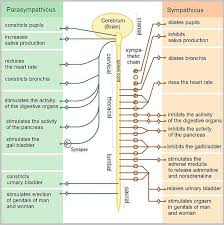 Comparative Functions Of Nervous And Endocrine Systems Chart The Nervous And Endocrine Systems Psychology