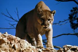 Image result for cougar