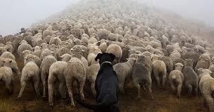 犬と羊の動物画像
