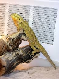 many aspects of caring for bearded dragons are controversial and there are many opinions on what works best please remember that what works for one person