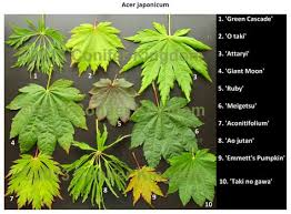 Japanese Maple Growth Chart Pin By Leslie Jones On Japanese Maples Japanese Maple