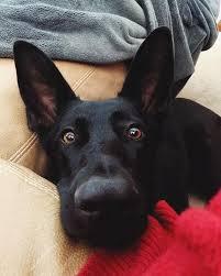 I also like cheese! @juneau.gsd #germanshepherds #germanshepherdmemes  #germanshepherdphoto…   Blue german shepherd, German shepherd dogs, German  shepherd puppies