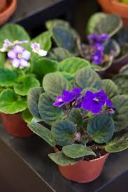 like its name proclaims african violets originate from tanzania and kenya and sprout small purple flowers