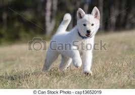 white husky mix puppy. Beautiful White White Shepherd Puppy  Csp13652019 With Husky Mix Puppy