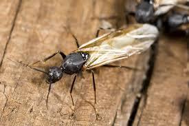 carpenter ant pic. Contemporary Carpenter Carpenter Ant With Ant Pic E