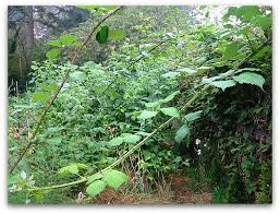 killing blackberry bushes permanently. How To Remove Blackberries Intended Killing Blackberry Bushes Permanently