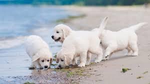 dog wallpaper. Beautiful Dog Golden Retriever Puppies Wallpaper Intended Dog P