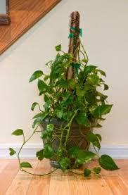 Best 25 Bougainvillea Ideas On Pinterest  Bougainvillea Tree Wall Climbing Plants In Pots
