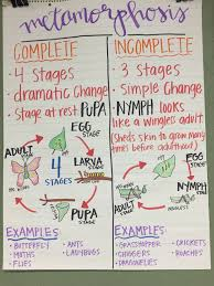 Metamorphosis Anchor Chart Hot For Teacher Science