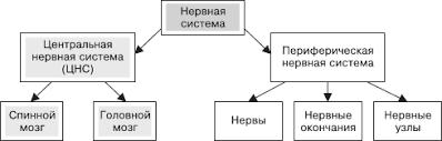 Российский Банк Рефератов Реферат Нервная система человека  Реферат Нервная система человека