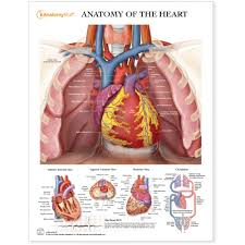 Anatomy Of The Heart Chart Anatomy Of The Heart Chart Poster Laminated