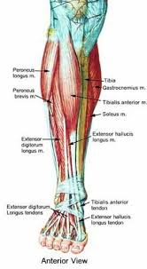 Shin Anatomy Muscle Anatomy Leg Anatomy Foot Anatomy