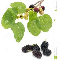 Best 25 Mulberry Tree Ideas On Pinterest  Mulberry Recipes Mulberry Tree No Fruit