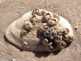 Small Picture Barnacle Wikipedia