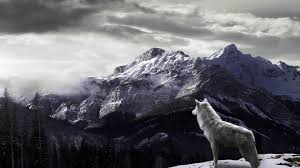 white wolf wallpaper 1920x1080. Modren White Wolves Images Wolf HD Wallpaper And Background Photos Intended White Wallpaper 1920x1080 P