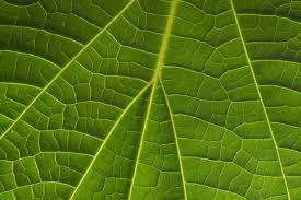 a thumbnail 2390 25 back lit venation of a catalpa leaf