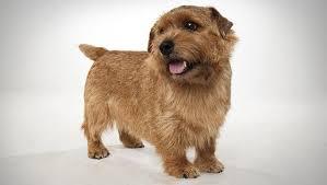 norfolk terrier norfolk terrier