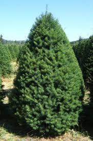 12 Species Of Fir Trees Members Of The Abies GenusTypes Of Fir Christmas Trees