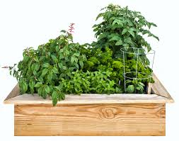 are herbs vegetables