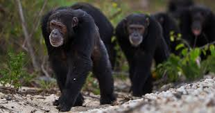 For First Time Ever Recorded by Humans, Chimpanzees are Killing Gorillas Unprovoked