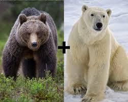 grolar bear size is a polar bear bigger than a grizzly bear polar bear grizzly