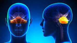 Sistema nervioso: qué es y sus funciones - Toda Materia