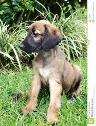 black afghan hound puppies breed