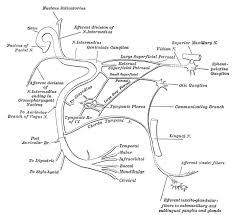 Facial Nerve Cranial Nerve Vii General Information