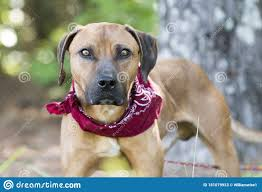 Hound Black Mouth Cur Mix Breed Dog ...