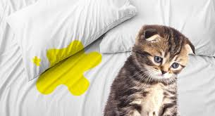cat ing on bed covers why they do