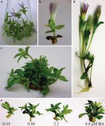 Propagation and xanthone content of Gentianella austriaca shoot ...