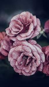 nf66-rose-pink-raindrop-flower-summer ...