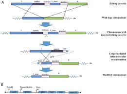 Genome Editing Crispr Cas9 Assisted Grna Free One Step Genome Editing With No