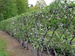 A Hedgerow Of Apples  Edwards Garden ServicesFruit Tree Hedgerow