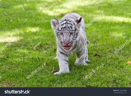 baby white tiger. Plain Tiger Baby White Tiger Inside R