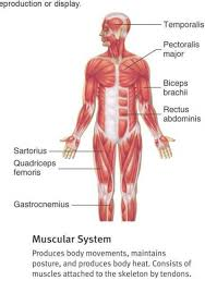 Blank Diagram of the Muscular System | bypassnet.info