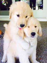 cute dogs and puppies. Wonderful And Furry Friends Golden Retriever Puppies  Cute Dogs Pets Animals Order An  Oil Painting Of Your Pet Now At Wwwpetsinportraitcom With Cute Dogs And Puppies N