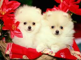 cute white puppies wallpaper. Wonderful White Cute White Puppy Wallpapers Httpwallpapersaecutewhite Throughout Puppies Wallpaper P