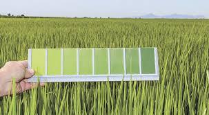 The Color Green Rice Farming