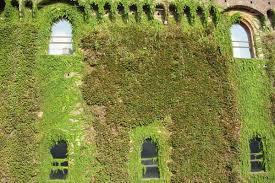 Walls Overgrown With Climbing Plants On Castello Sforzesco Wall Climbing Plants India