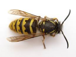 How to Kill Get Rid Yellow Jacket Nest | Yellow Jacket Control