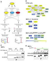 Endomembrane System Flow Chart Silac Based Ms Reveals Inducible B Raf Protein Complexes A