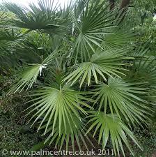 fan palm trees. fan palm tree trees p
