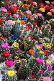 Small Picture 61 best Colorful Cacti images on Pinterest Plants Cactus plants