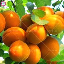 Apricot Varieties Supersooq Co